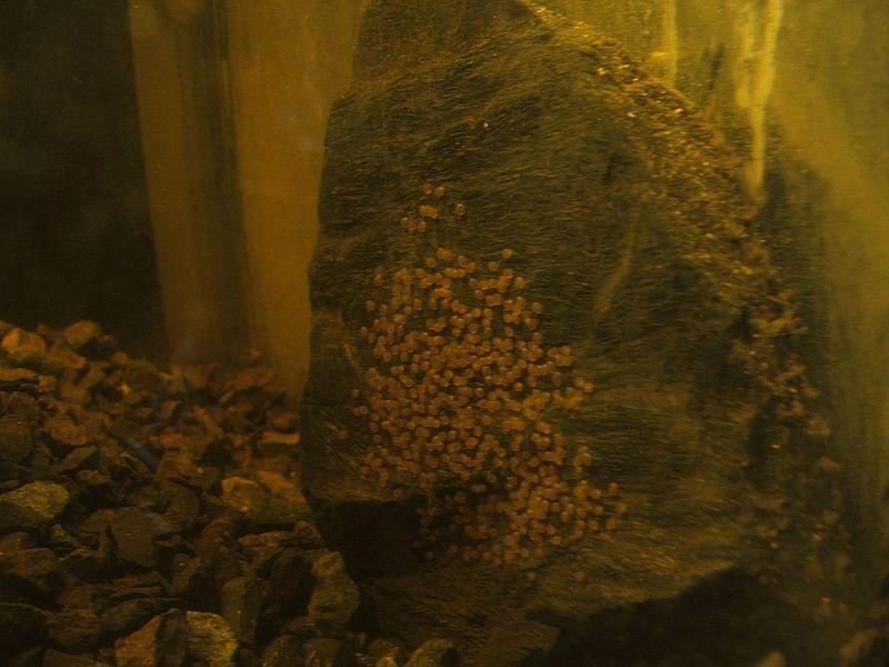 Sajica eggs