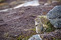 Arctic ground squirrel, Hatcher Pass.jpg