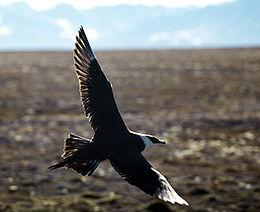 Arcticskua2.jpg