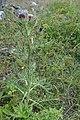 Arctium lappa, Asteraceae 03.jpg
