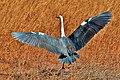 Ardea pacifica (White-necked Heron), Perth, WA 3.jpg