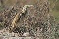 Ardeola ralloides - Squacco heron 03.jpg