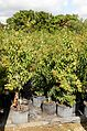Ardisia Escallonioides (Marlberry) Bush (28591088010).jpg