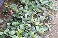 Ardisia japonica 1zz.jpg