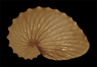Argonauta hians eggcase.png