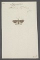 Argyrophora - Print - Iconographia Zoologica - Special Collections University of Amsterdam - UBAINV0274 059 17 0002.tif