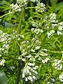Arnoglossum plantagineum (14398858937).jpg