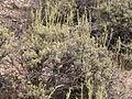 Artemisia arbuscula (3839998536).jpg