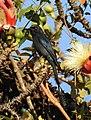 Ashy Drongo Dicrurus leucophaeus by Dr. Raju Kasambe DSCN0163 (5).jpg