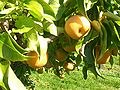 Asian.pear-Pyrus.pyrifolia-04.jpg
