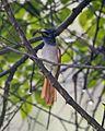 Asian Paradise-Flycatcher (Terpsiphone paradisi) 1.jpg