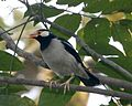 Asian Pied Starling, Sturnus contra contra - Flickr - Lip Kee.jpg