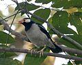 Asian Pied Starling, Sturnus contra contra - Flickr - Lip Kee.jpg