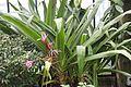 Asparagales - Crinum x amabile - 4.jpg