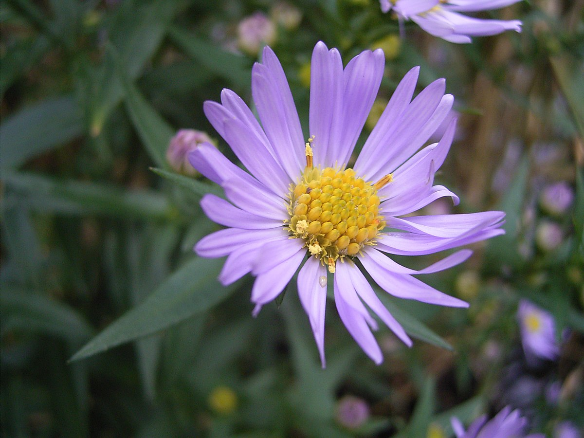 aster  wikipedia, a enciclopedia libre, Beautiful flower