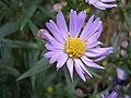 AsterNovi-belgii-flower-1mb.jpg
