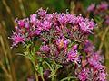 Asteraceae - Serratula tinctoria-1.JPG