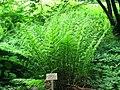Athyrium filix-femina - Berlin Botanical Garden - IMG 8644.JPG