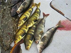 Atka mackerel - Image: Atka Mackerel caught near Homer AK