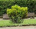 Aucuba japonica, Sari Temple, 2014-04-10 01.jpg