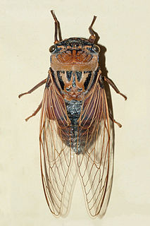 <i>Thopha saccata</i> largest Australian species of cicada and reputedly the loudest insect in the world