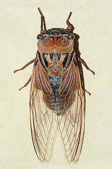 dorsal view of a single mounted cicada on a plain background