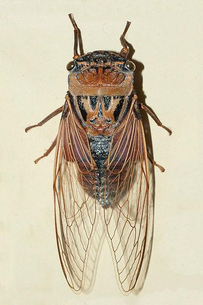File:AustralianMuseum cicada specimen 47.JPG