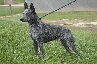Australian Stumpy Tail Cattle Dog Dog breed