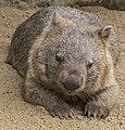 Australian Z00 Wombat-1 (9499385301).jpg