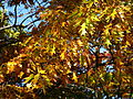 Autumn-oak-leaves - West Virginia - ForestWander.jpg
