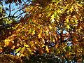 Autumn-oak-leaves - West Virginia - ForestWander.jpg