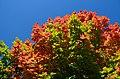 AutumnMapleLeaves2.jpg