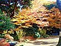 Autumn colours of leaves at Koishikawa Kourakuen IMG 3863.jpg