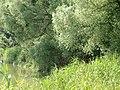 Auwald in den Donau-Auen 6.JPG