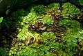 Azolla filiculoides - Mildred E. Mathias Botanical Garden - University of California, Los Angeles - DSC02809.jpg