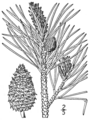 BB-0140 Pinus rigida.png
