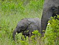 Baby Elephant (Loxodonta africana) and mom (12614385293).jpg