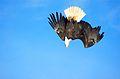 Bald Eagle Alaska (20).jpg