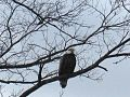 Bald Eagle photographed in West Brookfield (MA) (8615634034).jpg