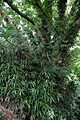 Bamboo and oak at Nuthurst, West Sussex, England.jpg