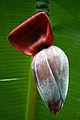 Banana inflorescence.JPG