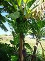 Banana trees Ethiopia (4).jpg