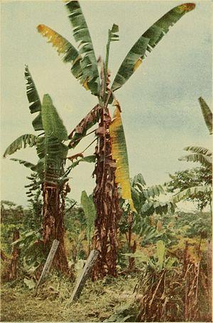 Gros Michel banana - Image: Banana wilt (1919) (20166670479)