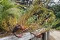 Banksia repens kz04.jpg