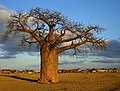 Baobab in the Veld, Limpopo, South Africa (2417720413).jpg