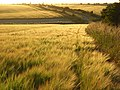 Barley, Compton - geograph.org.uk - 876627.jpg