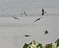 Barn Swallow (Hirundo rustica) with Asian Pied Starlings in Kolkata W IMG 3424.jpg