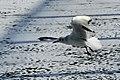 Bassin des Morts gelé, 2012-02-11, mouette rieuse 07.jpg