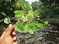 Bauhinia malabarica at Kottiyoor Wildlife Sanctuary (1).jpg