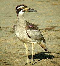 Beach Thick-knee Inskip Pt1.JPG